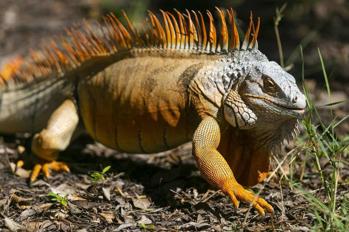 Florida S Invasive Iguana Population Is Booming And That S A Problem