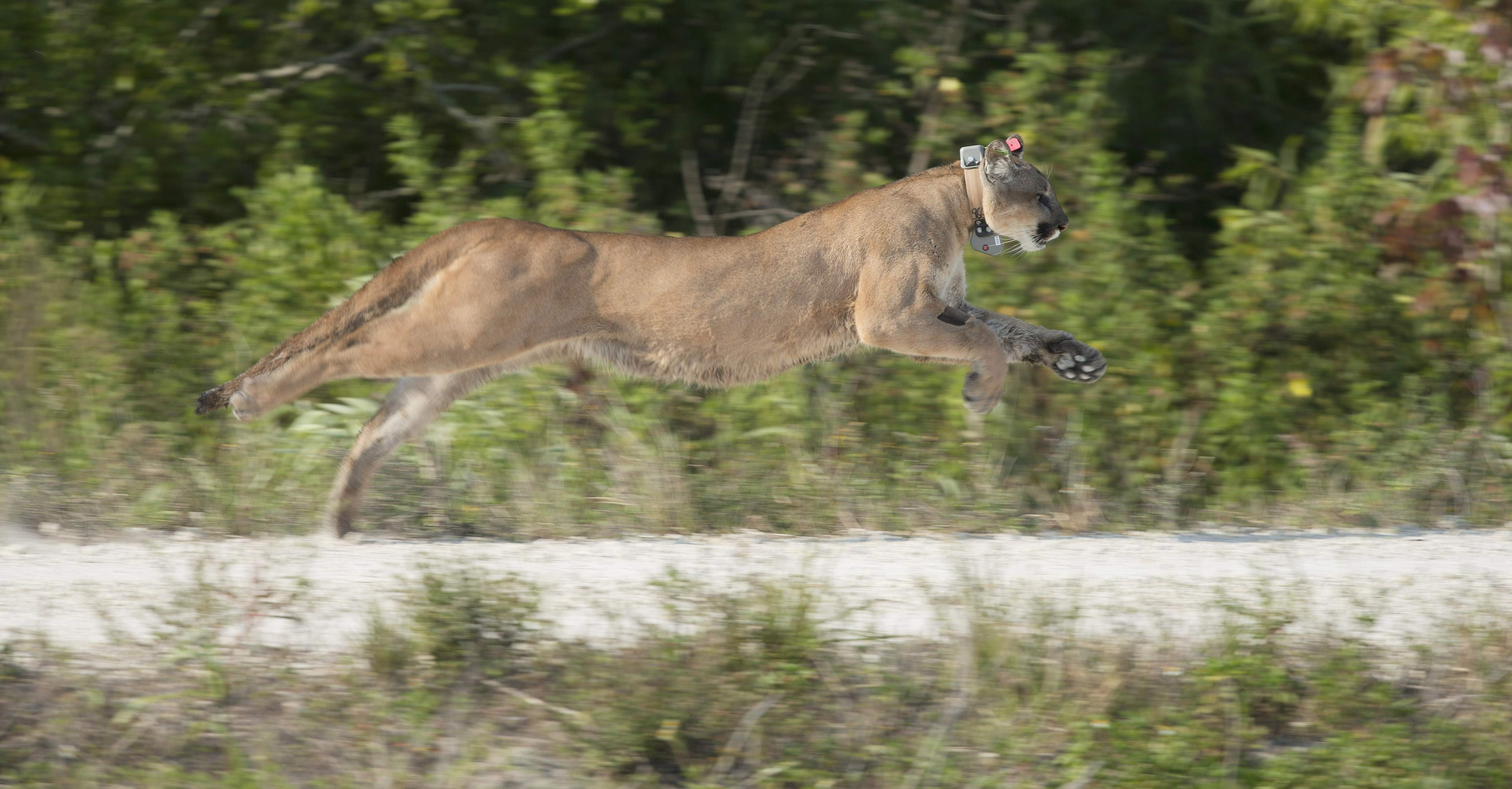 Florida panther roadkill deaths up slightly, but numbers may not ...