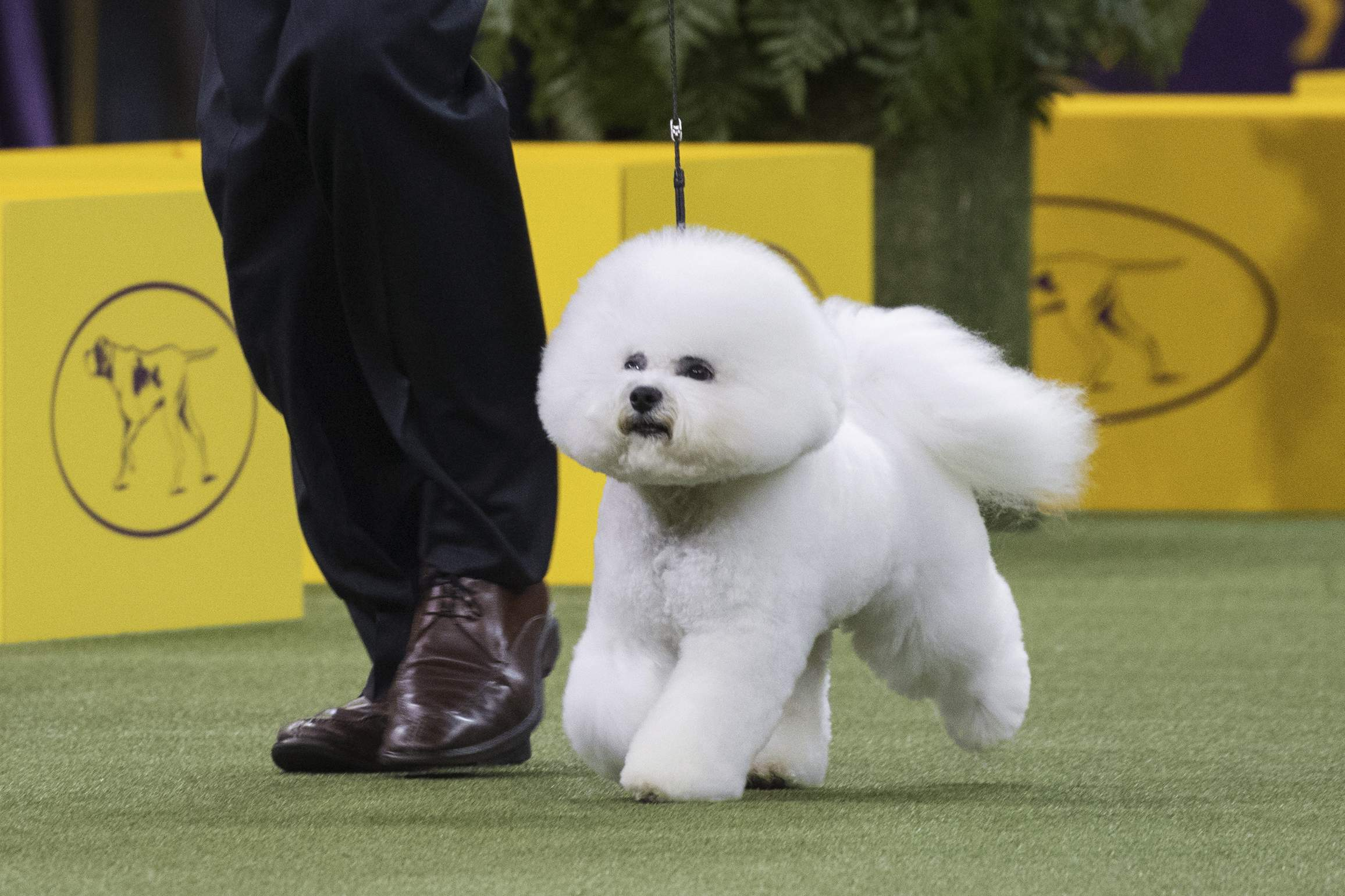 At Westminster Kennel Club, bichon frise Flynn becomes