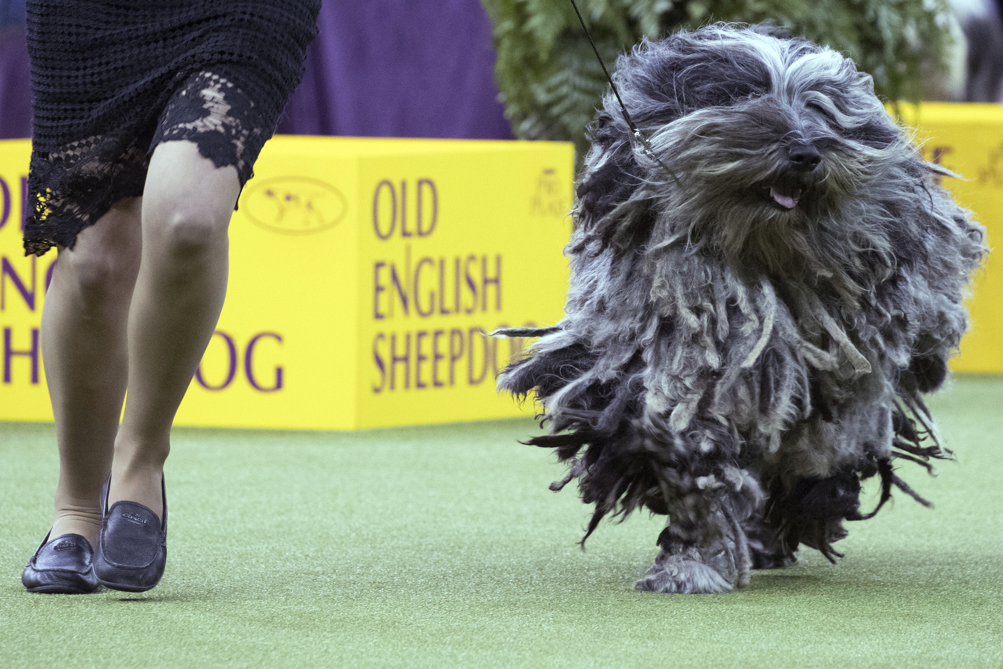 Photo gallery: The scene at the Westminster Dog Show