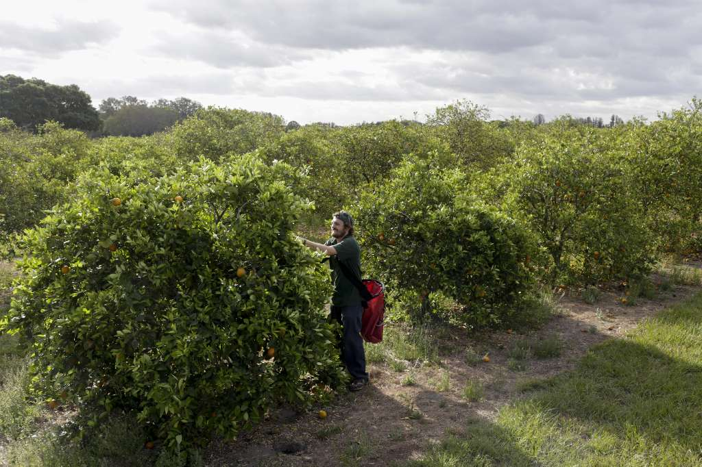 Florida scientists are working to solve greening  They were