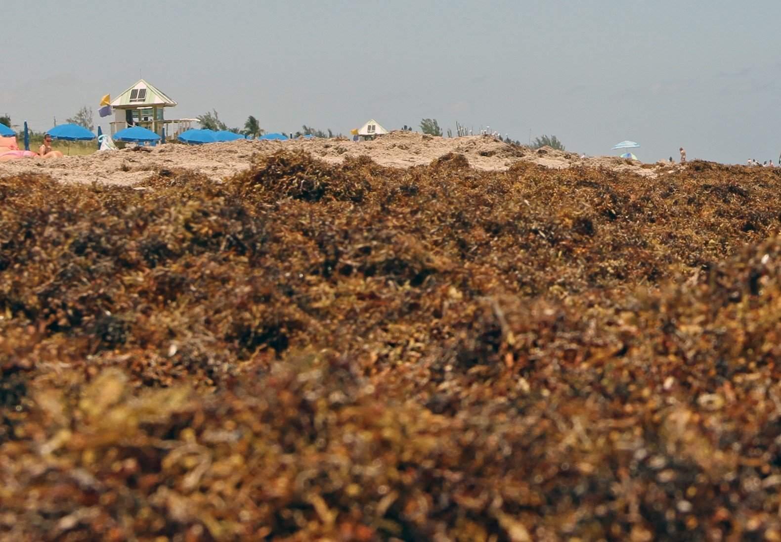 Sargassum seaweed now piling up on Florida beaches becoming