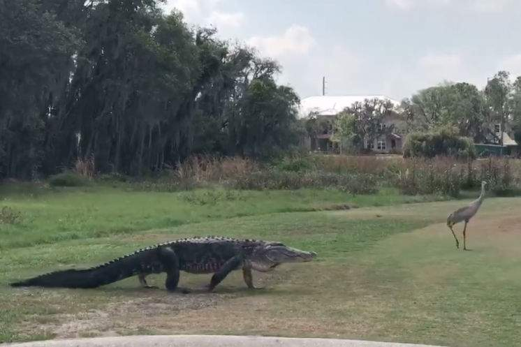 Video Watch As This Giant Alligator Stalks Two Cranes On A Florida Golf Course