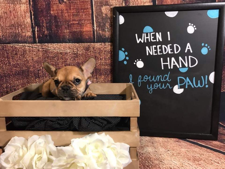Police: French bulldog puppy, worth thousands, fraudulently