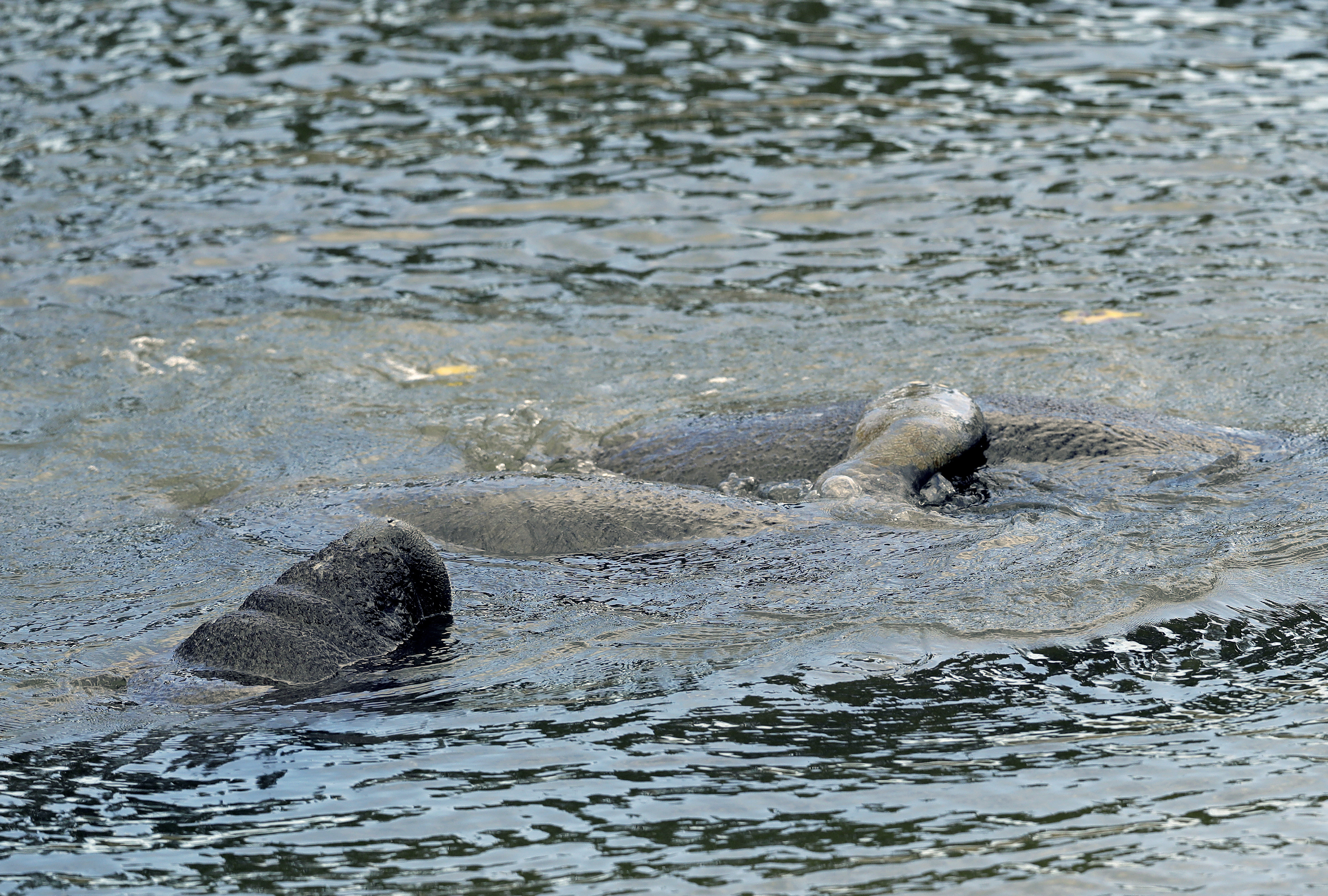 manatees manatee and warm water More than 500 manatees have gathered in florida in what officials  more than 500 manatees gather in warm water in florida in spectacular scene of nature.