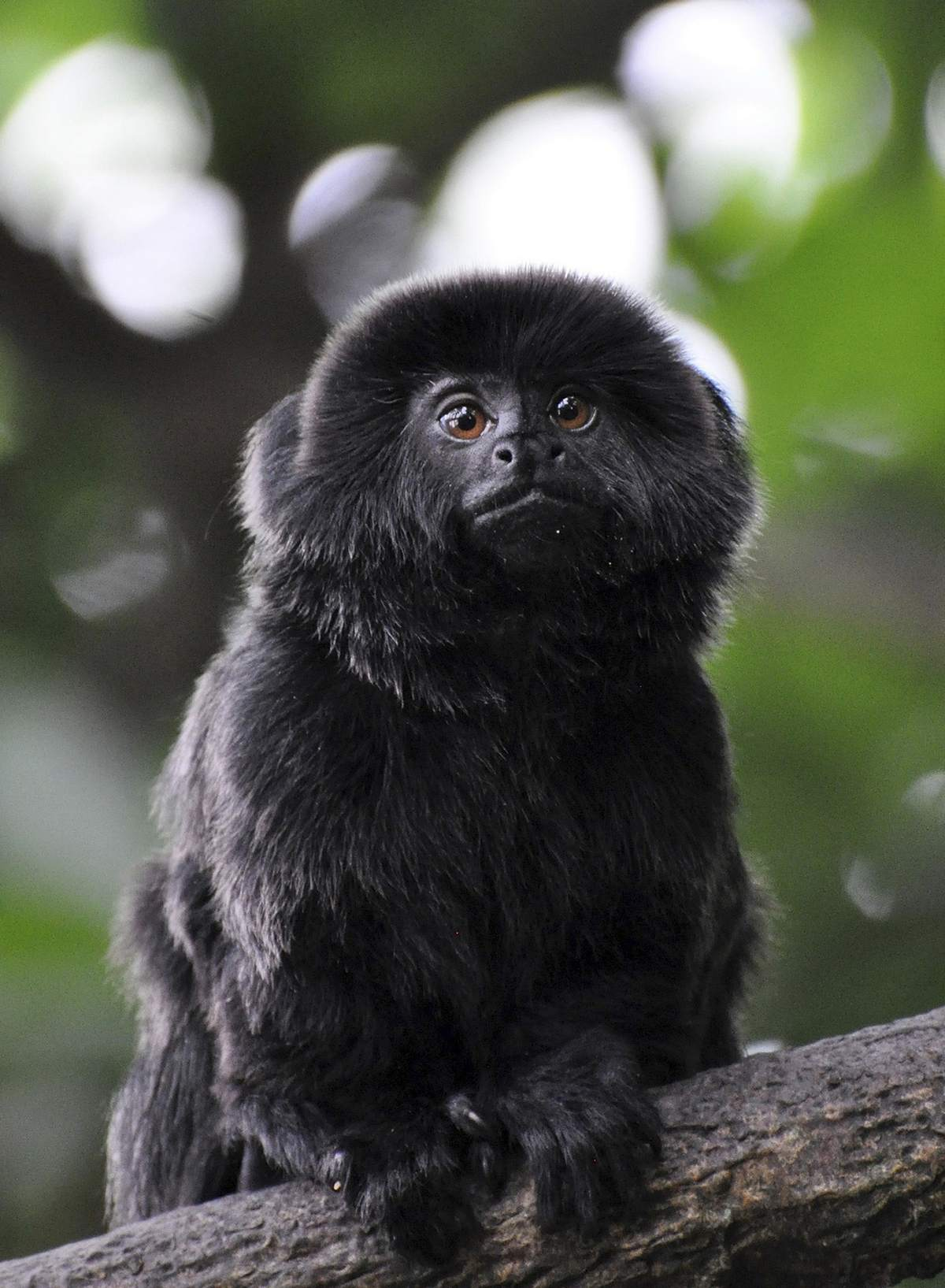 Police recover Kali, a rare Goeldi's monkey stolen from