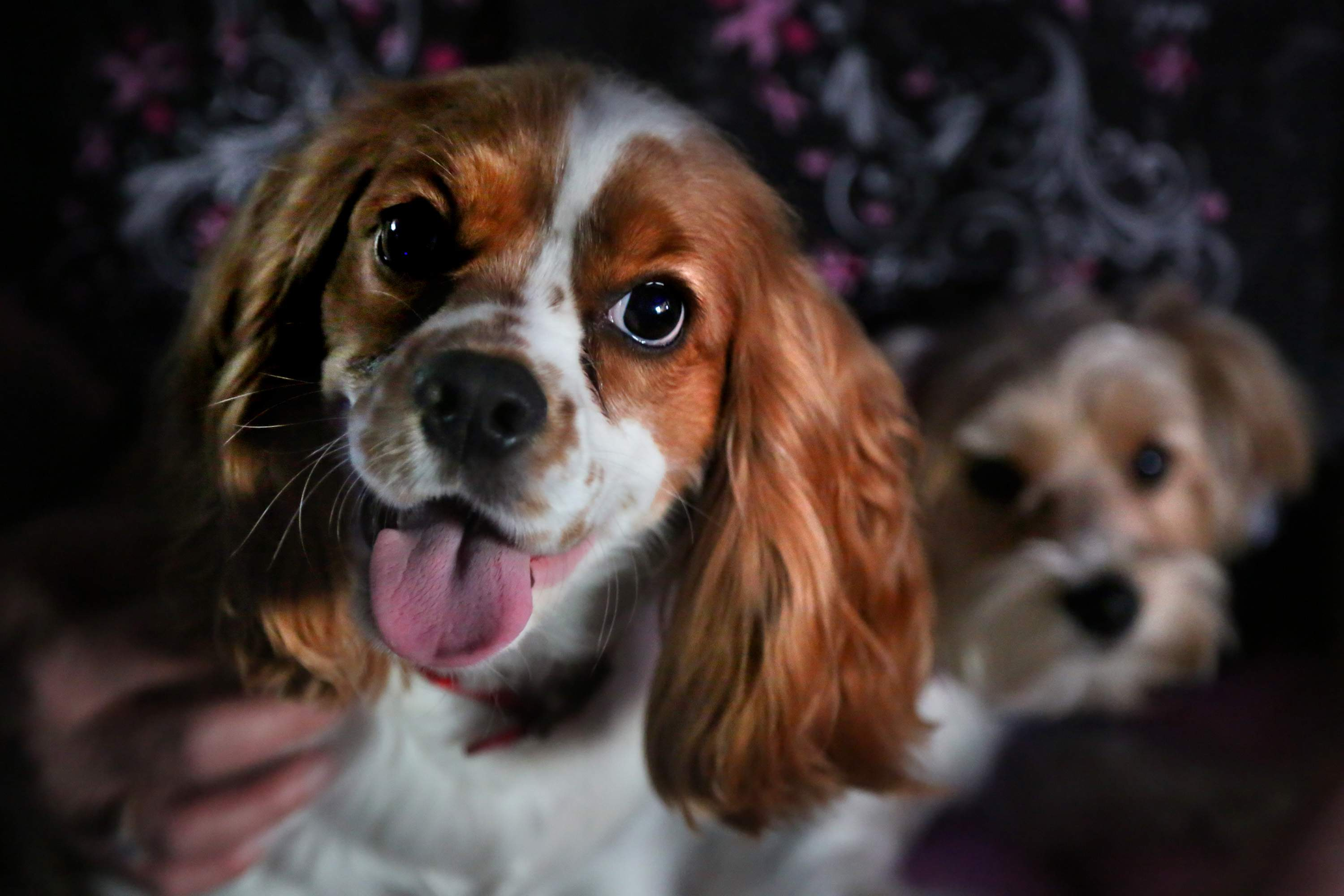 A Florida House bill could make it legal to sell puppy mill